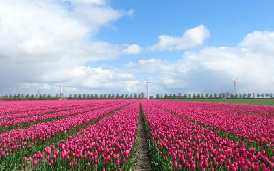 Ook Tulpenroute Flevoland doet pas op plaats