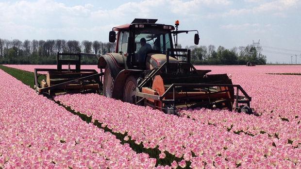 Tulpenvelden worden gekopt