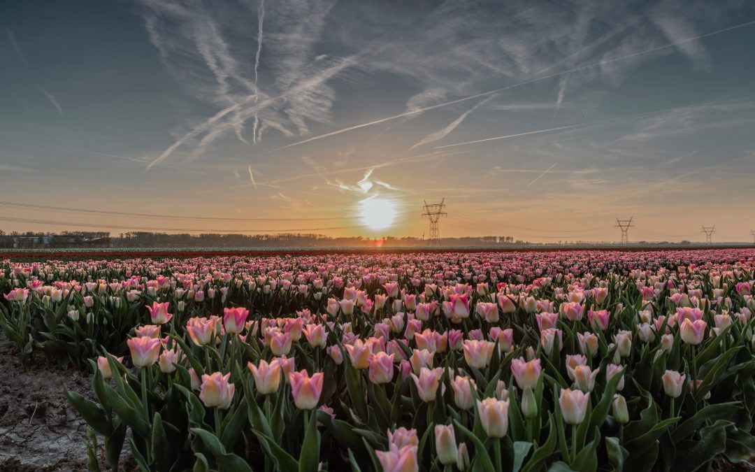 Opening Tulpenroute Flevoland op 13 april
