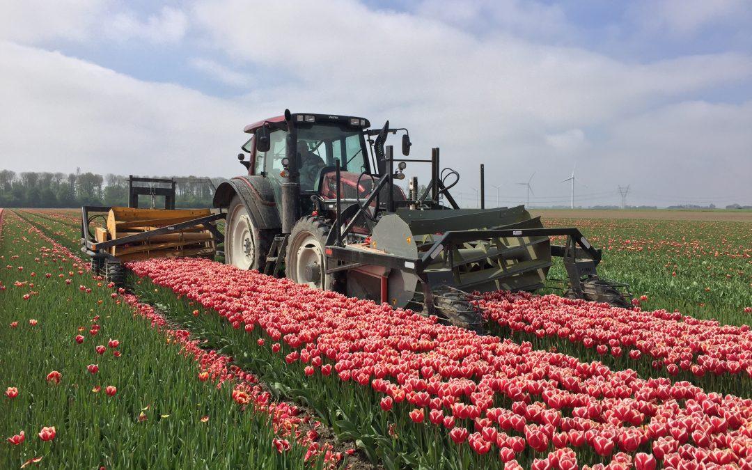 'Hoe gezonder de grond, hoe groter de tulp'