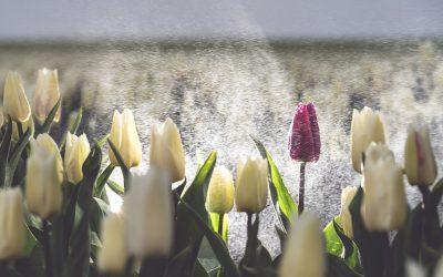 Tulpenroute trekt recordaantal bezoekers
