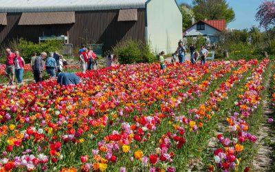 Tulpenroute zoekt activiteiten langs de routes
