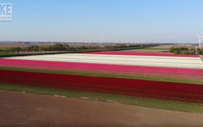 Prachtige video van de Flevolandse tulpenvelden