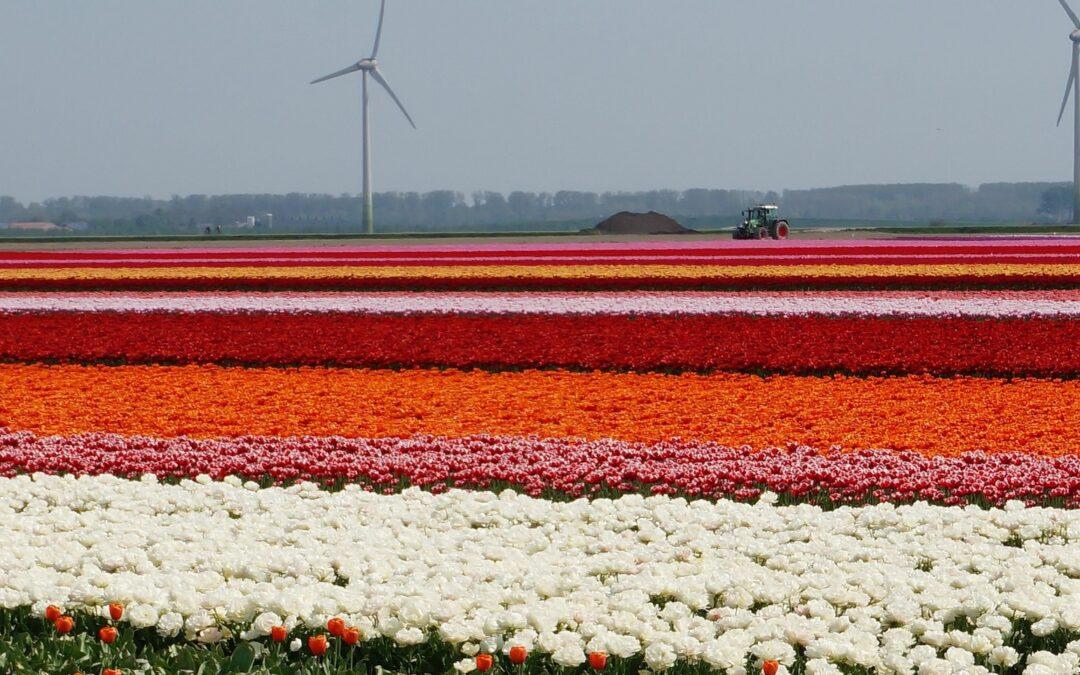 Tulpentelers maken zich klaar voor bloei