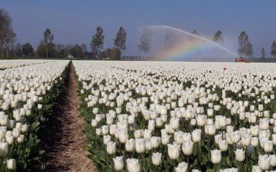 Duurzaamheid speelt rol in Flevolandse tulpenteelt