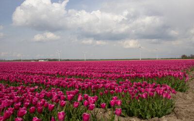 Tulpenroute Flevoland kijkt terug op geslaagde editie