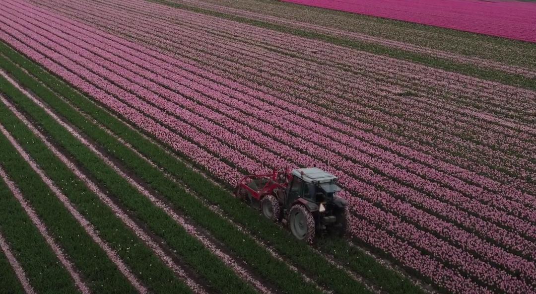 Flevolandse tulpentelers druk met het koppen van tulpen